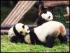 pandas_chengdu10