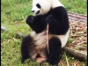 pandas_chengdu11