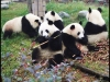 pandas_chengdu12