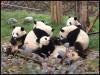 pandas_chengdu15