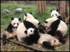 pandas_chengdu16
