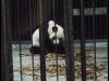 pandas_chengdu18
