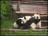 pandas_chengdu4