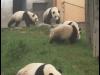 pandas_chengdu5