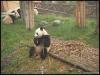 pandas_chengdu6