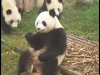 pandas_chengdu7